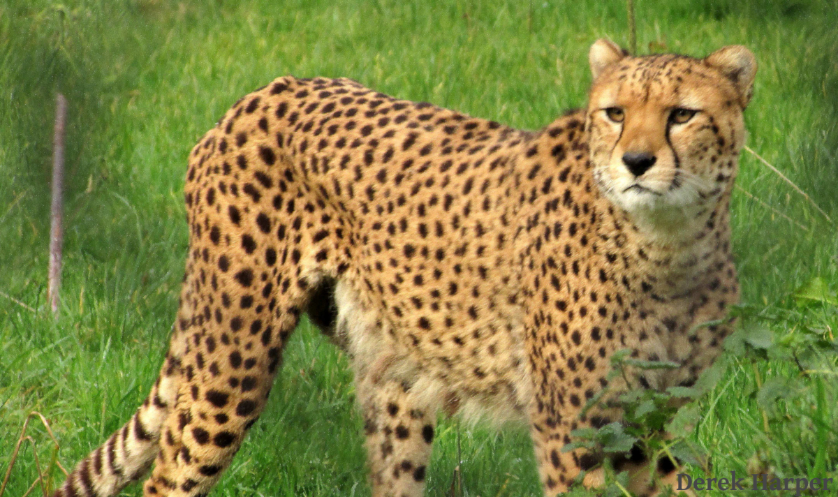 Slideshow Photo (1 of 7) Cheetahs on the Prowl: Pursue excellence